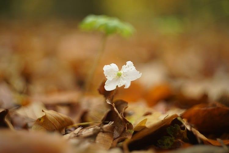 Oud Flower
