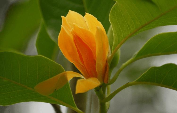 Nag Champa flower